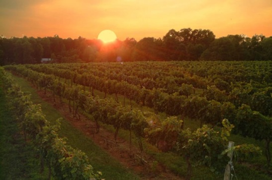 vineyard_sunset1
