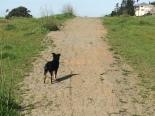 Dog walking offleash